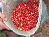Ecological coffee - fair trade